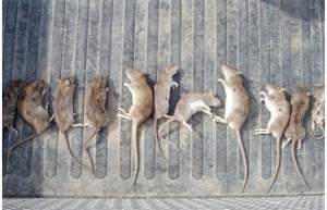 rodents dead