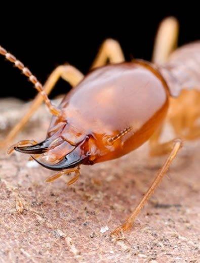termite eating
